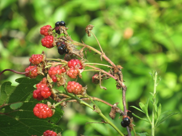BlackRaspberries3